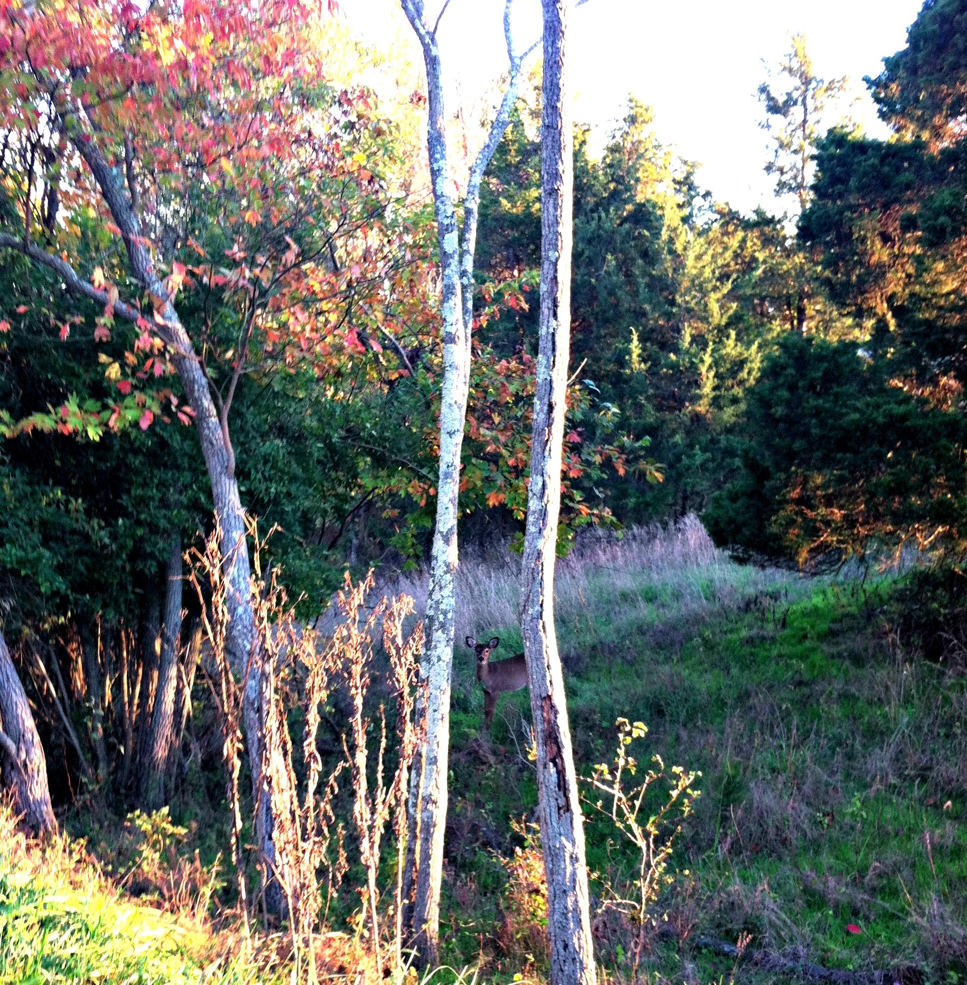 W&OD trail deer