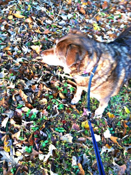 Fall walk with Bella